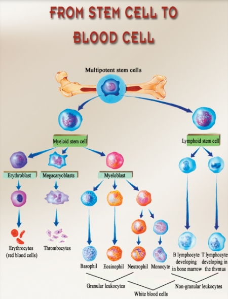 blood-stem-cells1
