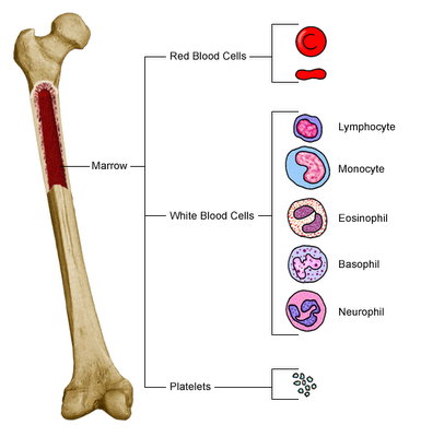 bone_marrow-blood-cells